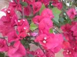 more bougainvillea