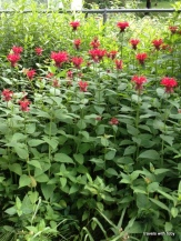 multiple bee balm