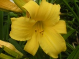 Yellow day lily