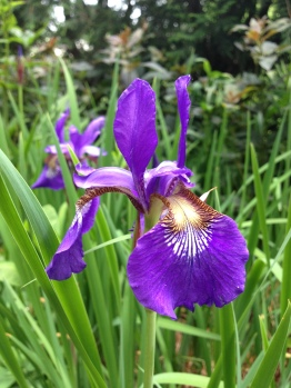 Gorgeous purple iris