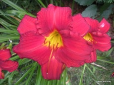Red lilies, summer in Minnesota