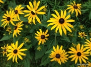 multiple black-eyed Susans