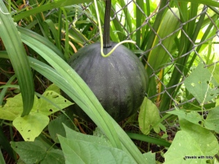 the pumpkin we thought was summer squash