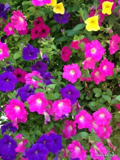 pretty pink petunias