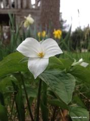 trillium-early spring