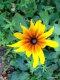 a rudbeckia volunteer from my neighbor's garden