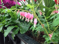 bleeding hearts - will be a few months before we see these in our garden