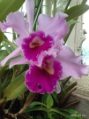 an orchid in the conservatory at Como Park