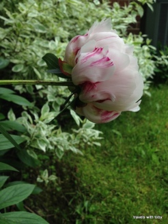 peony from the side