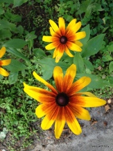 rudbeckia volunteer