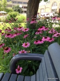 pink coneflower on campus