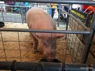 biggest boar