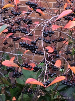 love the berries contrasted with the remaining leaves