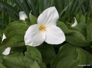 spring gardening: gorgeous trillium