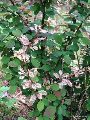 burberry shrub