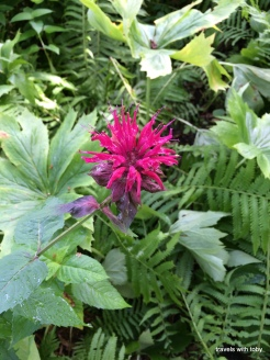 another bee balm