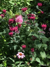 That's Queen of the Prairie's beautiful pink blossoms interspersed with the bee balm and coneflowers