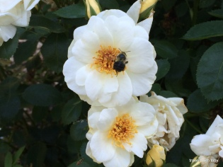 love the bee on that rose
