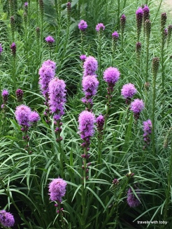 blazing star or liatris