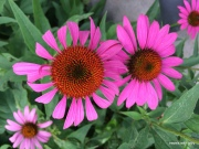 I especially like this pink coneflower photo
