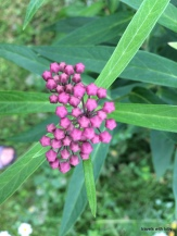 Joe Pye weed about to blossom