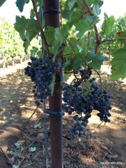 red wine grapes, yum.