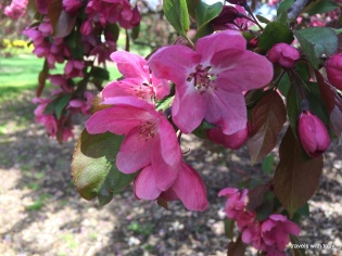 more crab apple blooms