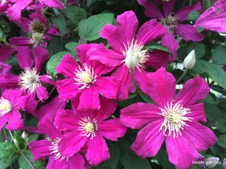 clematis up close