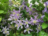 another beautiful clematis