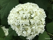 snowball hydrangea up close
