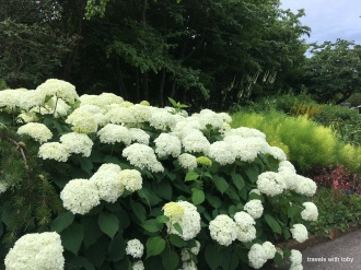 Ruth called these snowball hydrangea