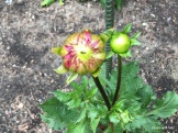 almost a dahlia! or two