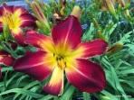 day lily-Landscape Arboretum