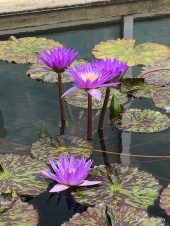 water lilies-Como Park
