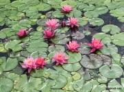 water lilies-Como Park