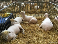 lambs at rest