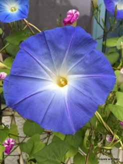 morning glory, early autumn