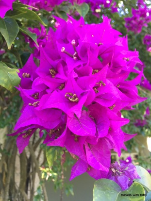 bouganvillea up close