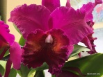 orchid-U.S. Botanic Garden