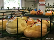 big gourds-MN state fair