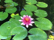 water lily - Jardín Botánico