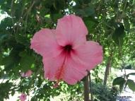 hibiscus - Jardín Botánico
