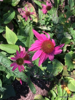 coneflowers still in bloom