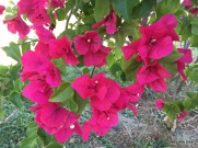 more bougainvillea but this time from southern California