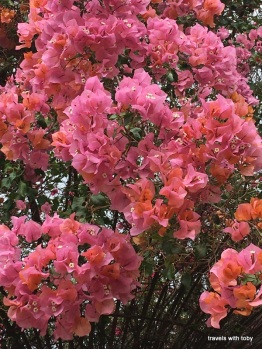 I've never seen this color bougainvillea