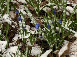 scillia in snow redux