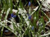 scillia in snow