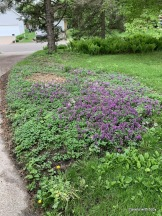 lamium ground cover