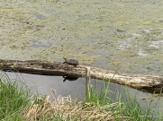 one day I counted 10 turtles on that log!