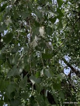 close-up of cottonwood blossoms still in the tree